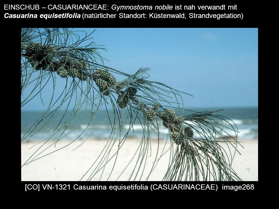 [CO] VN-1321 Casuarina equisetifolia (CASUARINACEAE) image268